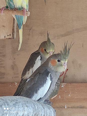 Sprzedam papugi nimfy tegoroczne