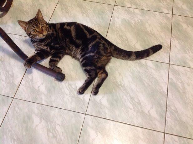 Продаются котики - Бенгалы...