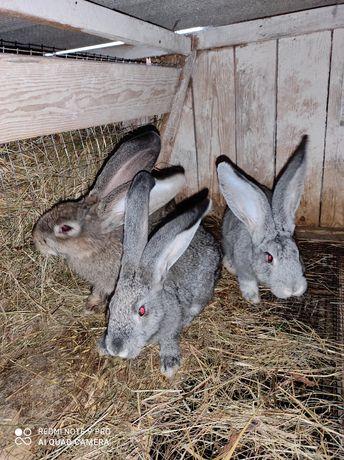 Кроликт