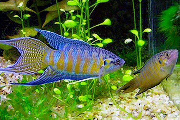 Wielkopłetw blue Macropodus opercularis 3,5cm
