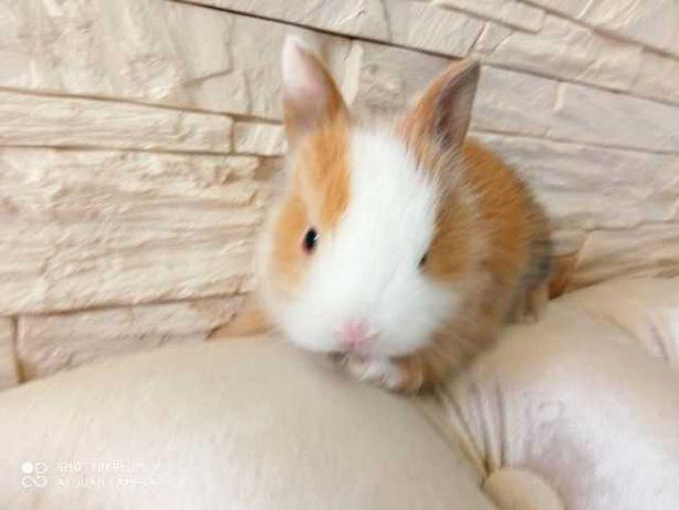 królik miniaturka króliki miniaturki karzełki