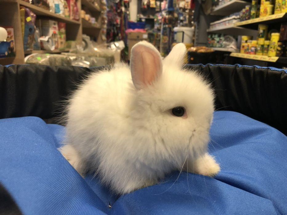 Biały królik karzełek teddy samica samiczka angorka Chorzów - image 1