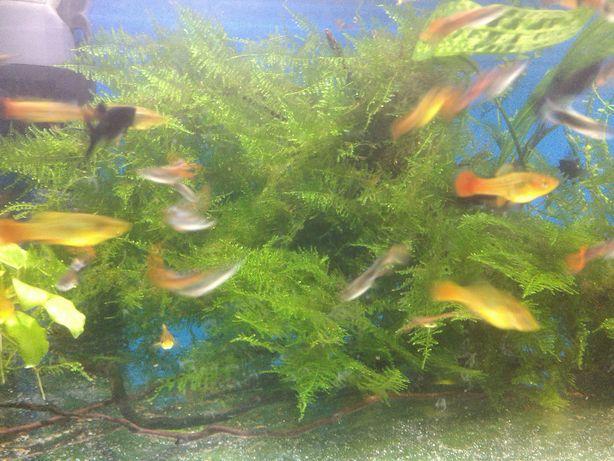 Mech akwariowy (Christmass Moss)