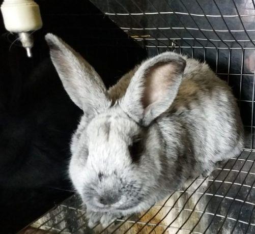 Кролики породи Європейське Срібло