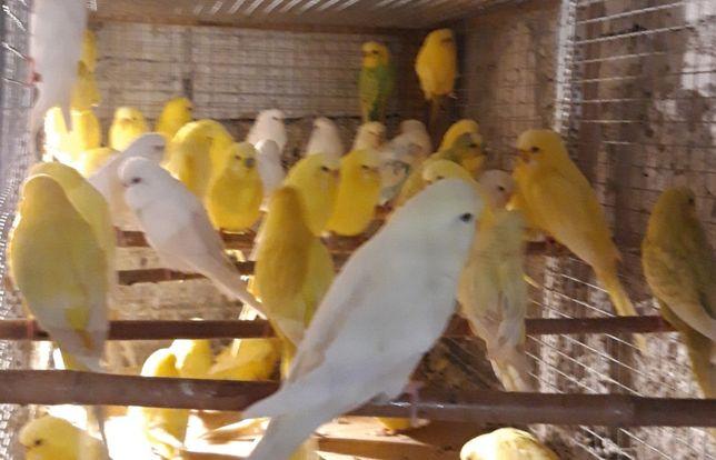 Papugi faliste aleksandretty obrożne