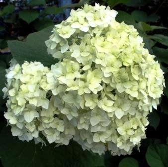 Гортензия многолетняя бело-зеленая