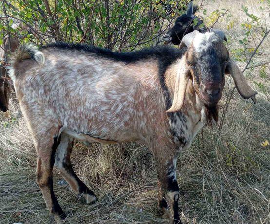 Нубийски козы та козлята