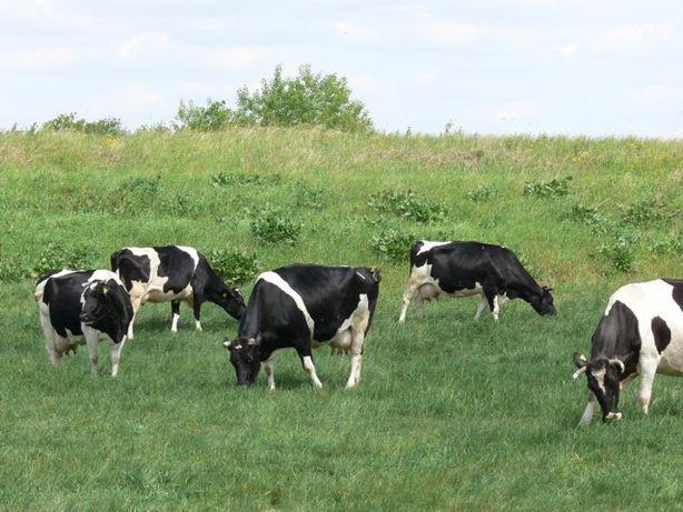 Mleko prosto, od krowy