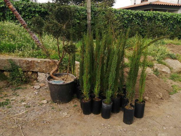 CAMPANHA 2021/2022 - Ciprestes Totem / Plantas / Árvores / Jardim