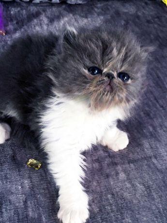 Kocięta perskie na sprzedaż CATRENIS*PL FPL (FIFe)