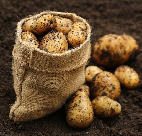 Sadzeniaki Gracja Ziemniaki, NATURALNE, BEZ NAWOZÓW. Sadzonki
