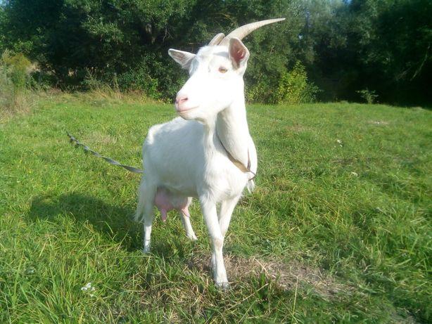 Коза, продам козу.