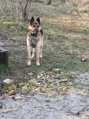 Найдена собака, овчарка, кобель