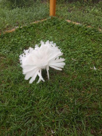 Gołębie biały samczyk