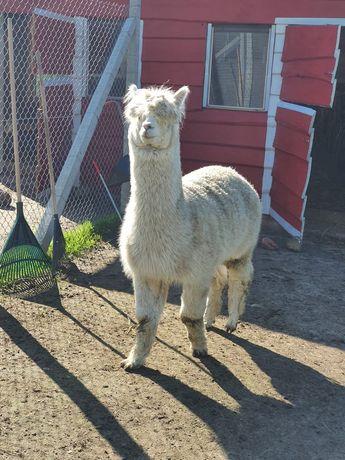 Alpaka samiec huacaya, reproduktor, kantarowany
