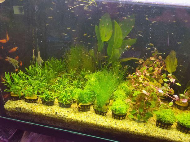Sagitaria dywanowa Rośliny akwariowe Olsztyn sklep zoologiczny Pirania