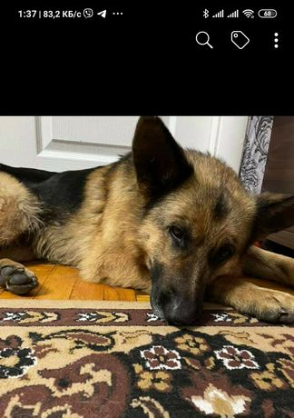 Пропала найдена собака Шевчик