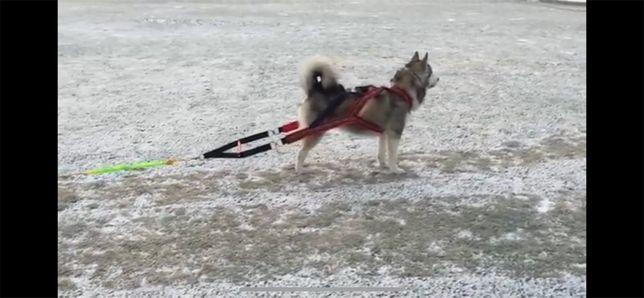 Ездовая шлейка для собаки (вейтпуллинга)