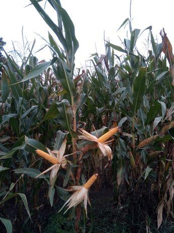 taniej! KWS kukurydza FLORES-NASIONA Ricardinio Kwintus Figaro Kidemos