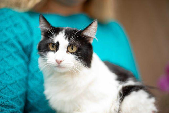Спокойная черно-белая кошка, пушистая, красивая, 2,5 года