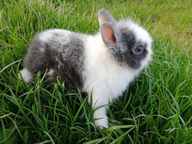 Sprzedam królika miniatureke