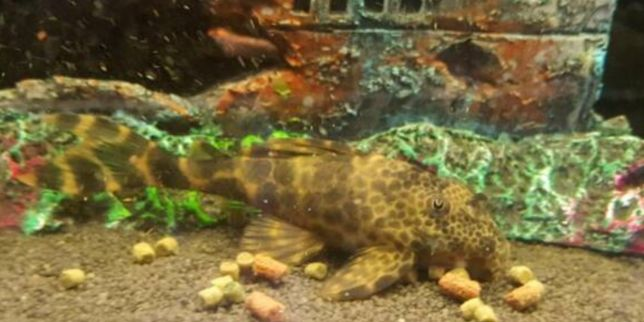 Zbrojnik glonojad L387 - 12 cm/rybki do akwarium