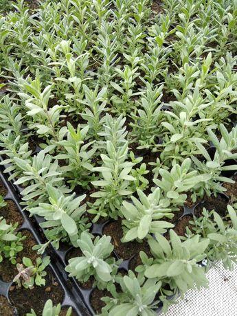 Lawenda w multiplacie wysyłka idealna na lawendowy ogród
