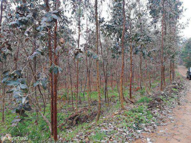 Vende se terreno com 1200m com plantação de eucaliptos