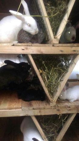 Племенные кролики кролі разные варианты.
