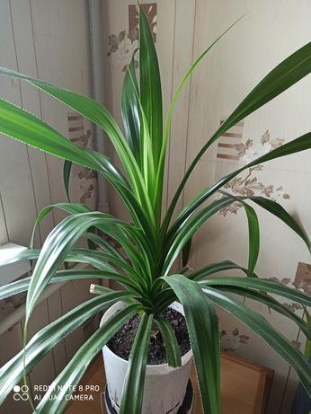 Панданус ложная пальма