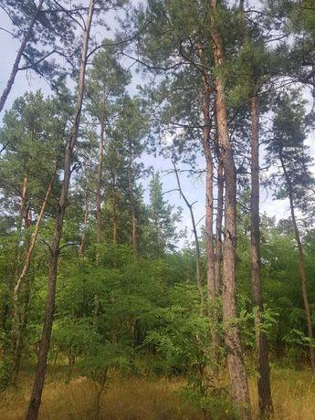 Участок в сосновом лесу. Кировское (Обуховка), собственник.