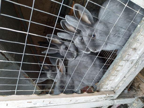 Продам кроликов на племя мясной породы Венский голубой 4-6 мес.