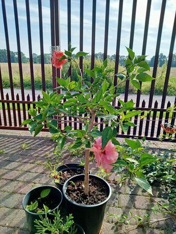 Hibiskus duży 70 cm w formie drzewka