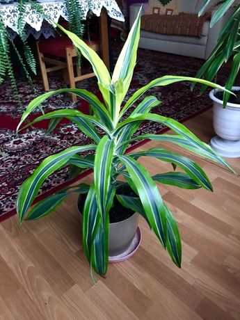 Pięknie wybarwiona dracena palma kwiat doniczkowy domowy długie liście