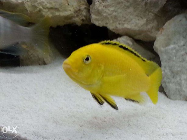 sprzedam rybki pyszczaki yellow (Labidochromis caeruleus)