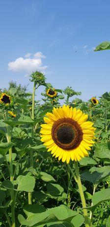 Słonecznik kwiat cięty