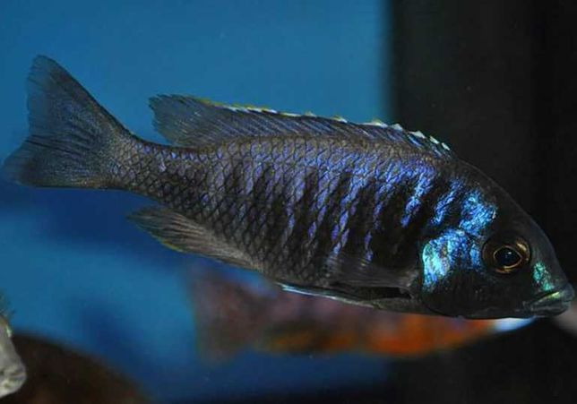 PyszczakPlacidochromis electrawysyłam