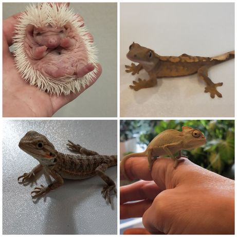 Jeż pigmejski afrykański, jaczurka ,gekony orzęsione , owady karmowe