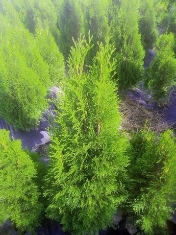 Туя Смарагд : вкорінені черенки та дорослі рослини