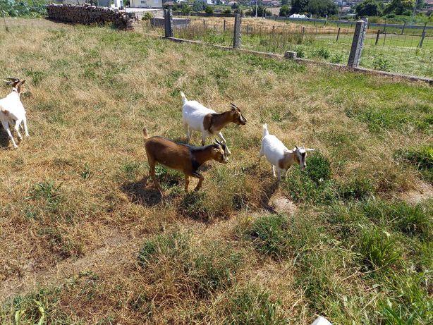 Cabras anãs de excelente qualidade