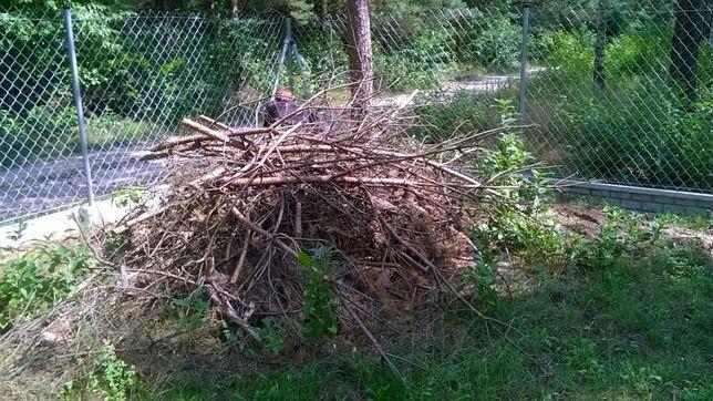 Gałęzie i korzenie sosny