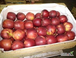Sprzedam smaczne jabłka odmiany Prince
