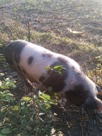 Домашня.   свиня