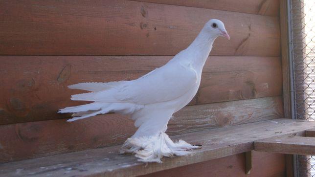 Bocian bociany samica 2020 gołębie ozdobne