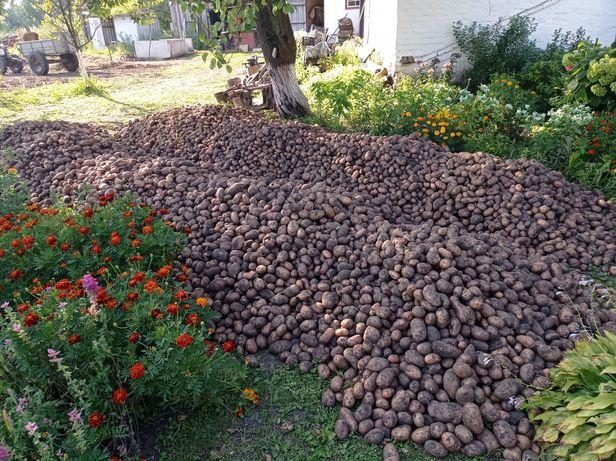 Продам домашню картоплю сорту біла роса