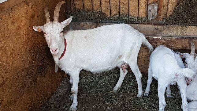 Sprzedam kozę mleczną