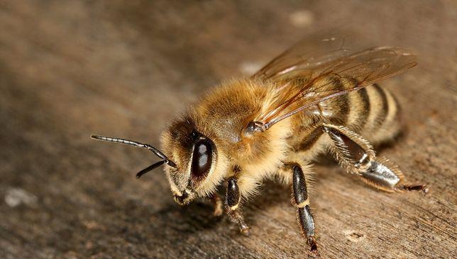 Sprzedam pszczoły Krainka,pszczoła kraińska,pszczoła rasy kraińskiej