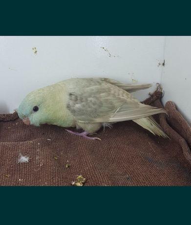 Papuga papużka nimfa
