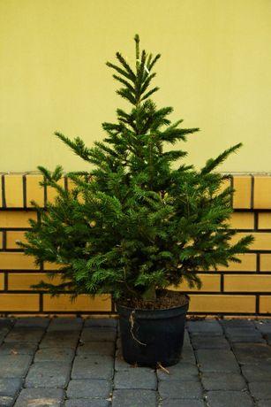 ŚWIERK POSPOLITY 100-120cm świąteczny w donicy