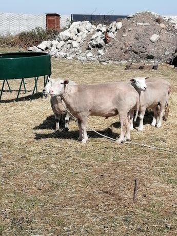 Owce barany Jarki